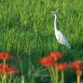 Photos: 白鷺と彼岸花