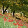 桜黄葉と彼岸花