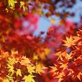 Photos: 天井の紅葉