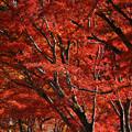 Photos: 赤い森