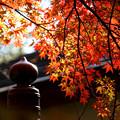 Photos: 擬宝珠と紅葉