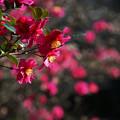 Photos: 山茶花咲く道
