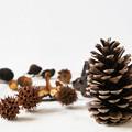 Photos: 松ぼっくりと木の実たち