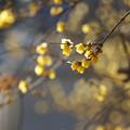 Photos: 沿道の蝋梅