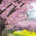Photos: 春色散歩