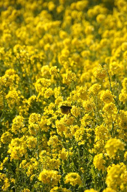 Photos: 菜の花とメジロ