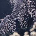 Photos: 花は降る降る