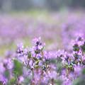 Photos: 紫の野