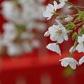 朱塗りと桜
