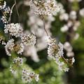Photos: しだれ咲き