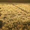 Photos: 金色の野