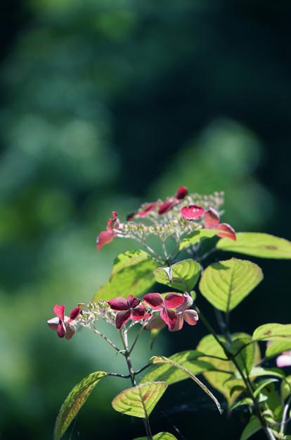 赤い山紫陽花