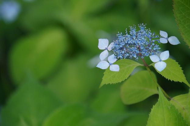 青い額紫陽花