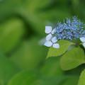 Photos: 青い額紫陽花