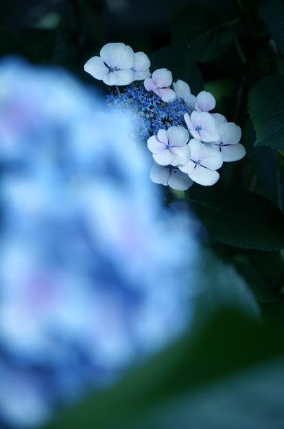 蒼い紫陽花