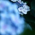Photos: 蒼い紫陽花