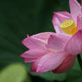 Photos: ピンクの蓮