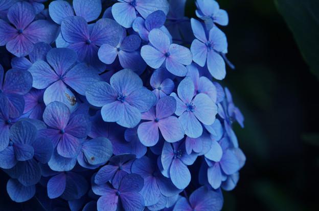 青ざめた紫陽花