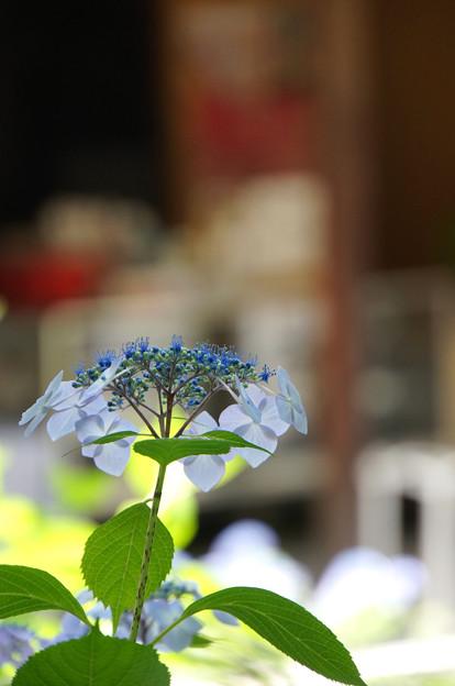 お寺の山紫陽花