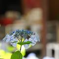 Photos: お寺の山紫陽花
