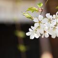 Photos: 静かに咲いて