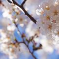 Photos: 天井の桜