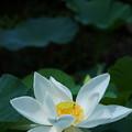 Photos: 蓮池の白