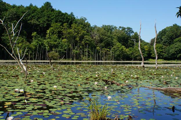 睡蓮の咲く池