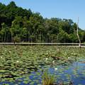 Photos: 睡蓮の咲く池