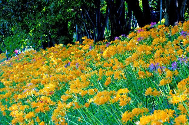 リコリスは花盛り