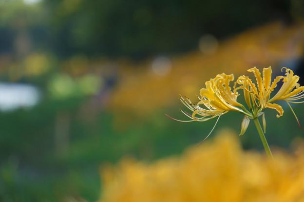 黄色のリコリス