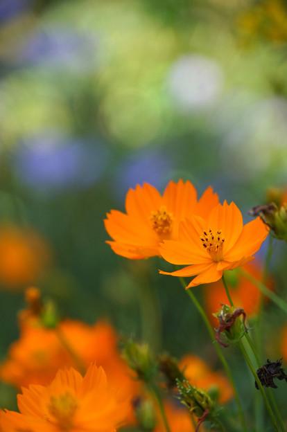 黄花の季節