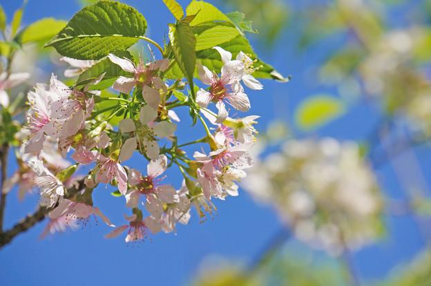 晴天の秋桜
