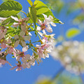 Photos: 晴天の秋桜