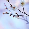 Photos: 春の梅