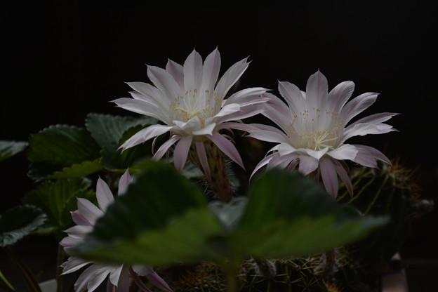 Photos: 今年も咲きました!サボテン