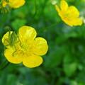 虫と金鳳花
