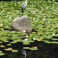 写真: 睡蓮咲く池