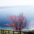 写真: 梅咲く丘