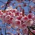 写真: 彼岸桜