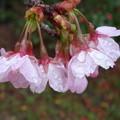 写真: 桜雫