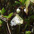 ドウダンツツジと白い蝶
