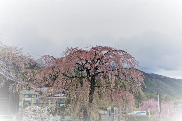 光前寺仁王門しだれ桜