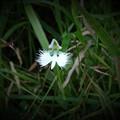 写真: 甲山湿原鷺草
