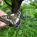 写真: 9月14日 翅が折れて生まれたアゲハチョウ