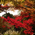 写真: 紅葉のハシリ ♪♪