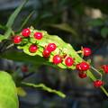 写真: ジュズサンゴの赤♪♪