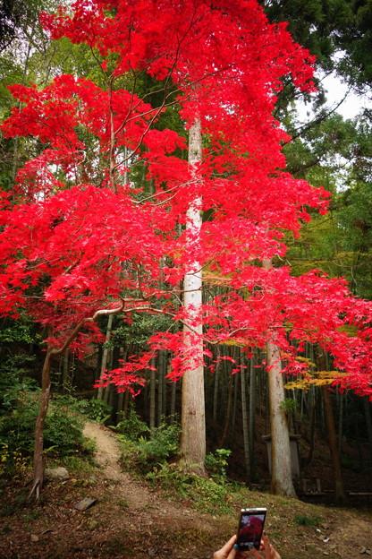 スマホで撮る真っ赤な紅葉