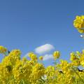 雲と菜の花