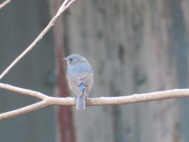 後姿の青い鳥